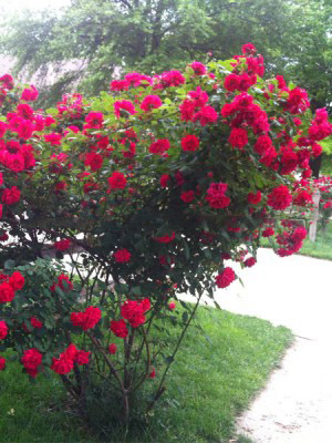 Cây Hoa Hồng Đỏ